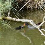 Gallinule Poule d'eau et ses petits